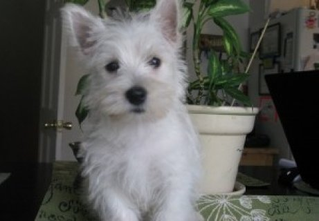Darling registered Westie puppy looking for her forever home,