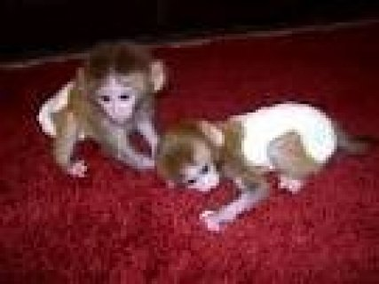Cute And Lovely Capuchin Monkey Ready for adoption