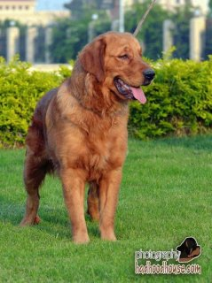 for sale female golden 6 month for sale
