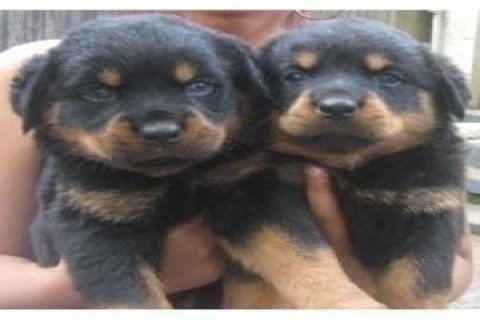 Wonderful Rottweiler Puppies for Adoption