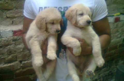 golden retriever . King size