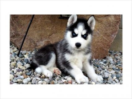 Available purebred black and white siberian husky