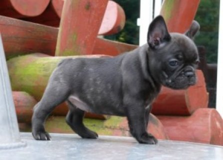 Purebred AKC French Bulldog Puppies Available for adoption