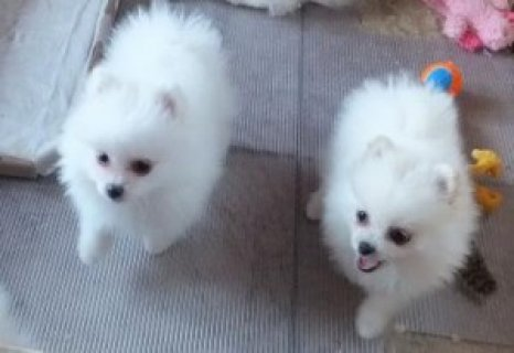 White Pomeranian Puppies Available ~ Only 4 Left!