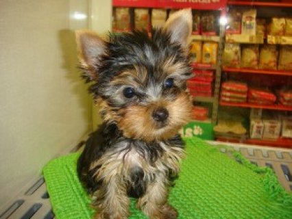 Female Teacup Yorkie puppy for rehoming