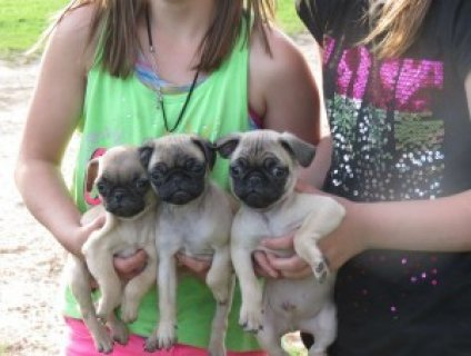 صور Cute Pug Puppies 1