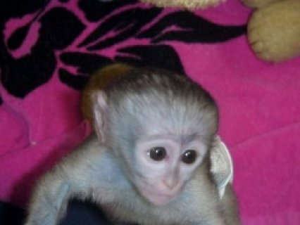 adorable capuchin monkeys for good homes