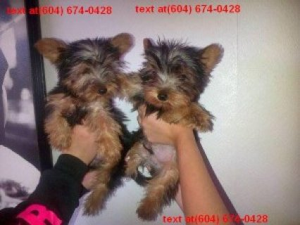 Beautiful Yorkie Poo Puppies for  xmas