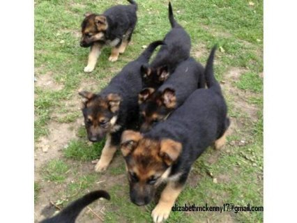 2 Registered German Shepherd Puppies Ready to Go.