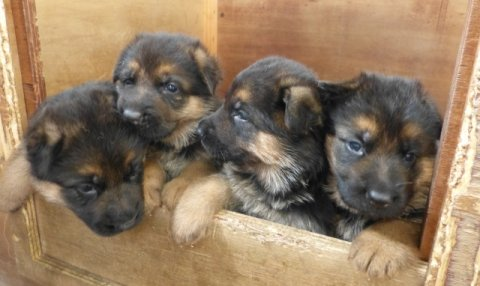 German shepherd puppies Male and Females