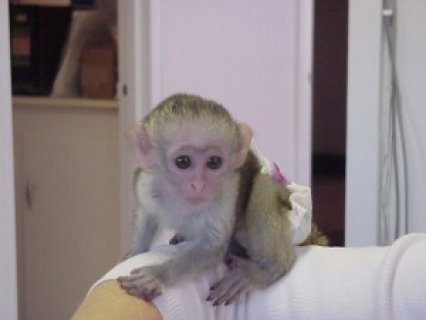 صور Exmass Capuchin Monkey for Rehoming 2
