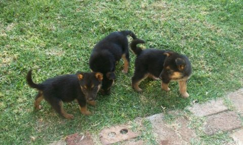 German Shepherd Puppies Available For Adoption