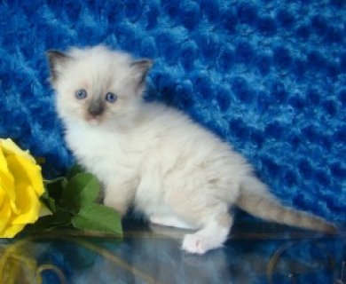 Registered Ragdoll Kitten for adoption