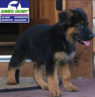 up for sale GSD puppy\'s ,, imported parents from Germany ,,pink