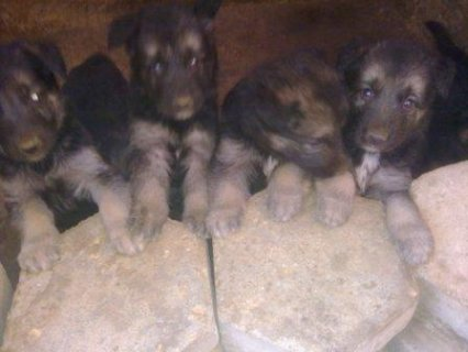 german shepard old houses female period with in a month