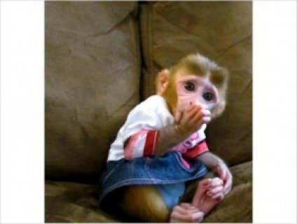 صور lovely and outstanding Capuchin baby monkey for adoption 1