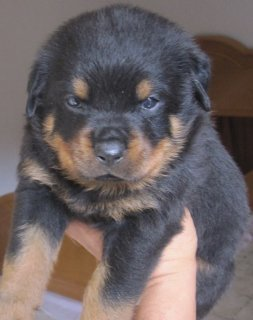 Champions Bloodline Rottweiler Puppies