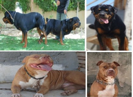 Male Pittbull & Male Rottweiler For Sale