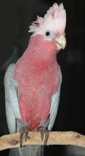 صور $Parrot Birds and  Fertile  Parrot Eggs  For  Sale 3