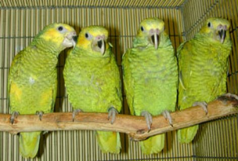 صور Parrot Birds and  Fertile  Parrot Eggs  For  Sale 4