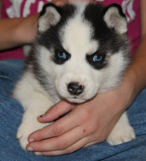 {wilbergoodman1@gmail.com }Adorable SIBERIAN SUSKY puppies