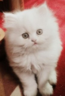 Stunning Persian Kitten For Re-homing