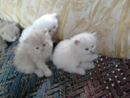 Toy Persian kittens ready for Xmas(Christmas new family addition