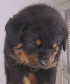 The Best Rottweiler Puppies