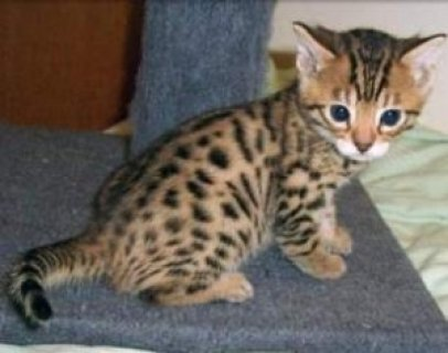 Potty Trained Bengal Kittens
