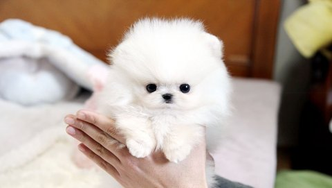 2 Adorable Tebby cream/White Pomeranian Puppies