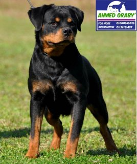 imported Rottweiler Female daughter of uzi flash rose