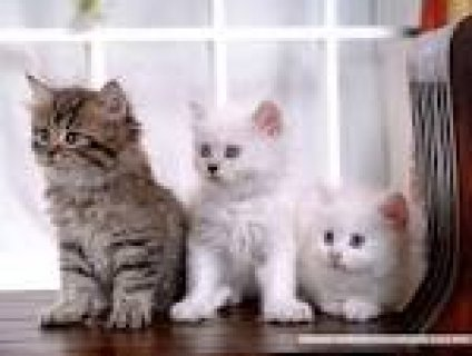 Cute and Adorable persian cats for  free adoption