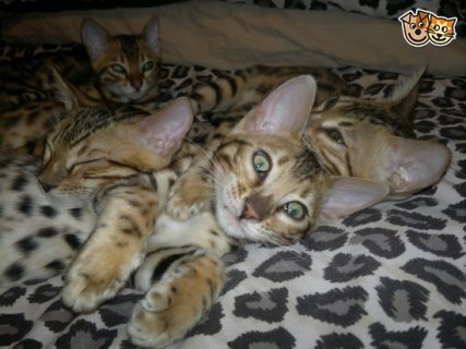 Absolute Stunning Kittens, Be Perfect For Active