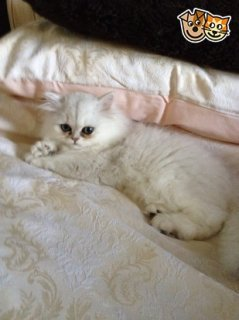 Cute Kittens for free adoption