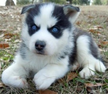 صور Gorgeous Siberian Husky Puppies 1