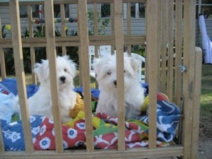 Affectionate Maltese Puppies for Adoption