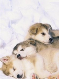Top Quality Alaskan Malamute Puppies Available