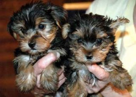 Tea-Cup Yorkies Available For Adoption