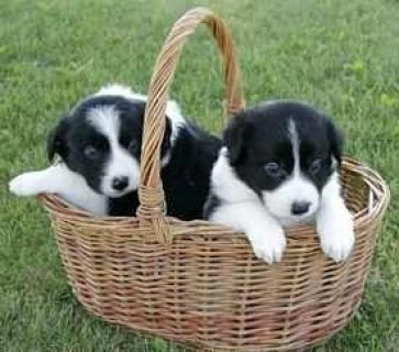 Adorable Border Collie pups