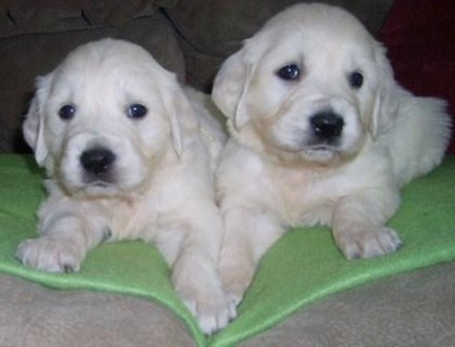 2 Adorable Golden Retriever for adoption