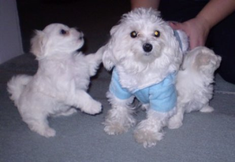 صور cut and lovely Maltese 1
