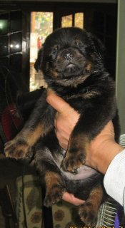 Pure Dark Coloured Rottweiler Puppies