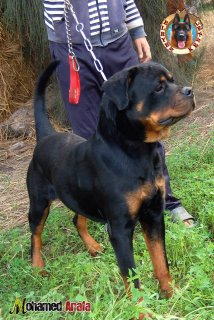 male 14 month for sale call 01144188544