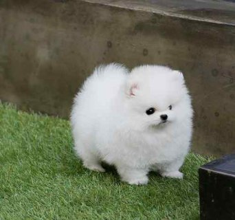 Beautiful Teacup Pomeranian puppies for sale