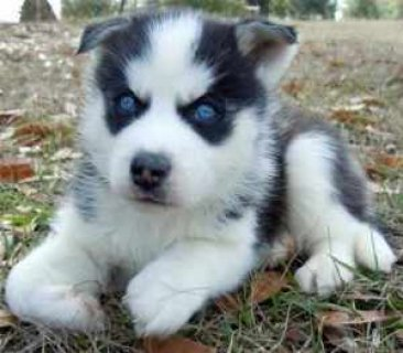 Golden Blue Eyed Male Female Siberian Husky Puppy