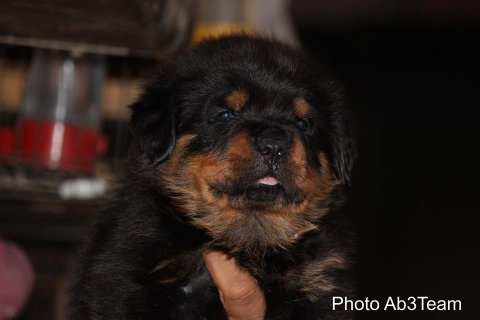 Puppies from Ben 35 days old up for sale .. for more information