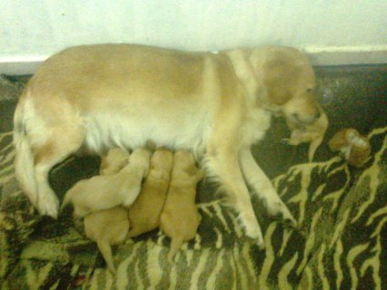صور golden retriver puppies 2
