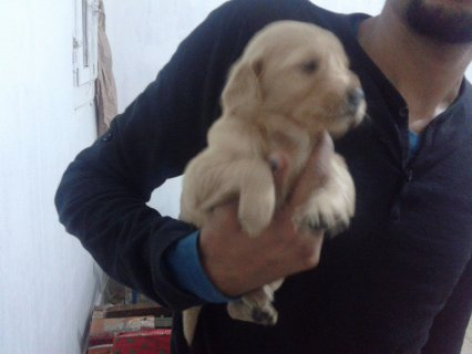 صور $golden retriver puppies 3