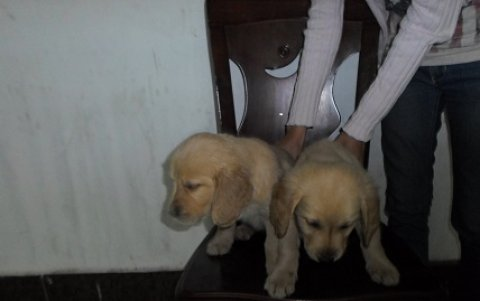 صور golden retriver puppies 4