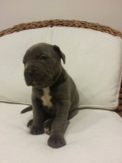 cane corso for sale
